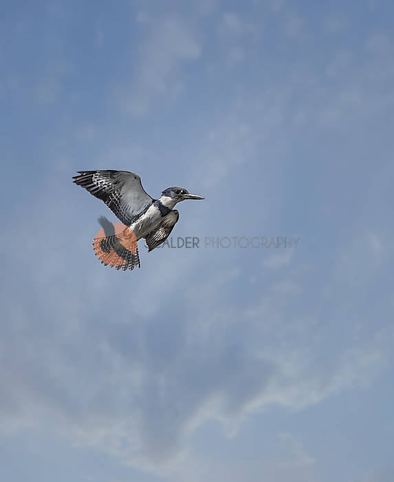 Male Belted Kingfisher in flight rising vertically on take off