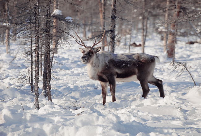 A reindeer in the forest at its winter pastures in Northern Evensk, Magadan Region, East Siberia, Russia.