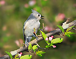 A Cute Little Bird, The Tufted Titmouse, Nicely Posing With It's Crest Up And Beak Open In Song, Parus bicolor