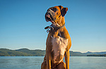 Rocky, boxer dog.