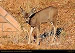 Mule Deer Juvenile at Sunrise, Havasupai area, Grand Canyon, Arizona
