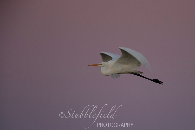 Great Egret (Ardea alba egretta), American subspecies, in flight at dawn at Riparian Preserve at Water Ranch in Gilbert, Arizona.