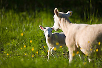 Sheep and lamb in buttercup meadow, Taynton, The Cotswolds, Oxfordshire