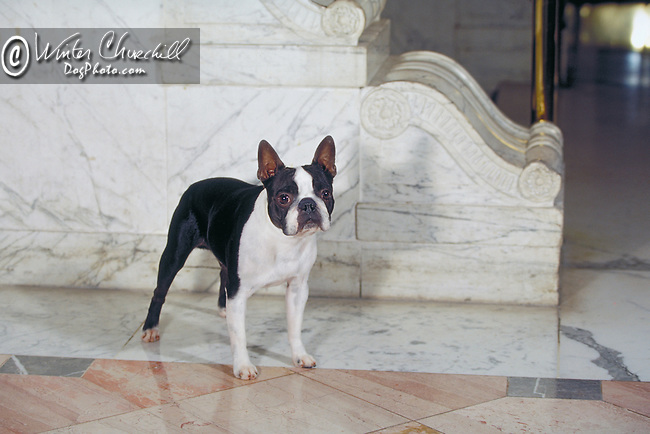 Boston Terrier<br /> <br /> <br /> Shopping cart has 3 Tabs:<br /> <br /> 1) Rights-Managed downloads for Commercial Use<br /> <br /> 2) Print sizes from wallet to 20x30<br /> <br /> 3) Merchandise items like T-shirts and refrigerator magnets
