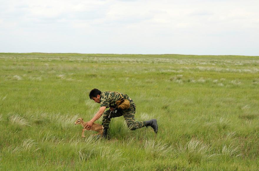 Mission: Saiga.Saiga (Saiga tatarica) newborn is weighed and measured by staff of the Cherniye Zemly (Black Earth) Nature Reserve, Kalmykia, Russia, May 2009.Saiga tatarica