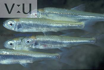 Popeye Shiners ,Notropis ariommus,. Central USA.