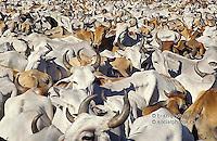Cattle raising, Pantanal Matogrossense, Brazil.