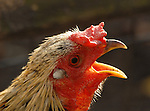 SMITHTOWN,NY-NOVEMBER 16, 2007: A rooster crowing at Hoyt Farm Park and Preserve in Smithtown on November 16, 2007. Photo by Jim Peppler. Copyright Jim Peppler/2007.