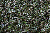 A pile of coca leaves is placed for drying in the local coca market, in Entre Rios, Chapare province, Bolivia. November 27, 2019.<br /> Un tas de feuilles de coca est placé pour le séchage sur le marché local de la coca, à Entre Rios, province du Chapare, Bolivie. 27 novembre 2019.