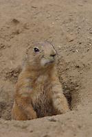 Schwarzschwanz-Präriehund, Schwarzschwanz - Präriehund, Prärie-Hund, an seinem Erdbau, Erdhöhle, Cynomys ludovicianus, black-tailed prairie dog, Plains prairie dog, Chien de prairie, nordamerikanisch
