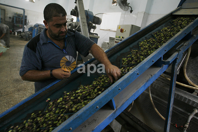 A Palestinian worker prepares to press olives at a traditional stone press in Rafah in southern Gaza Strip on Oct. 11, 2014. Farmers are harvesting their olives from mid-October until the start of November this year. Photo by Abed Rahim Khatib