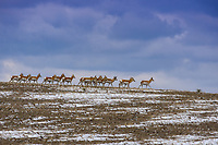 A male Pronghorn, or antelope as some incorrectly refer to them, oversees his herd of females on the plains of eastern Colorado.