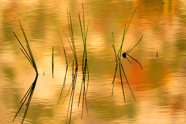 Isolated reeds and their colorful reflections in pond