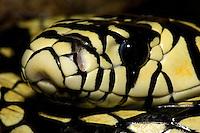 Tiger Rat Snake,  spilotes pullatus, Amazon