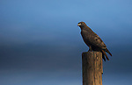 A Red Tail Hawk sits on a pole during the Eagles & Agriculture event on Friday, Jan. 26, 2018 in the Carson Valley.