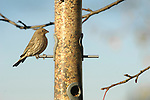 House finch,  female on backyard feeder.