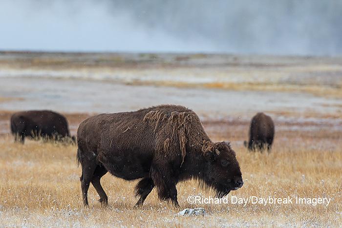 01985-02707 Bison (Bison bison) near Midway Geyser Basin Yellowstone National Park, WY