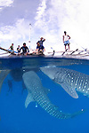 Two Whale Sharks, Rhincodon typus, under a fishing platform, these sharks are friends with the fishermen who hand feed them at Cendrawasih Bay, West Papua, Indonesia, Pacific Ocean