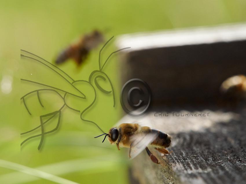 Like an athlete on the flight board, a drone, or male bee, takes off. The bee's peak speed is 50 kilometres/hour and the males flight is faster.<br /> Sur planche d&rsquo;envol, tel un athl&egrave;te, un faux-bourdon, le m&acirc;le des abeilles prend son envol. La vitesse de pointe de l&rsquo;abeille est de 50 km/h et les males ont un vol plus rapide.