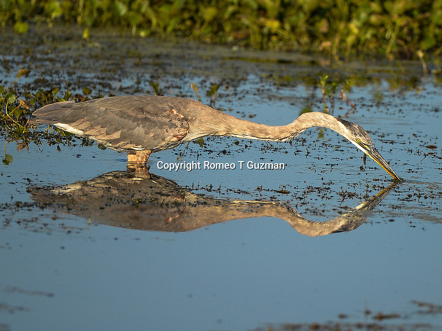 June 8, 2014: Great blue heron (Ardea herodias) Orlando Wetlands Park Christmas, FL