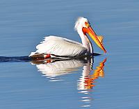 American white pelican in breeding plumage