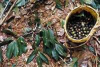 Use of forest products by Indians of Guiana Highlands of Venezuela: gathering of wild fruit eaten after light cooking: Dacryodes sp. (Burseraceae)