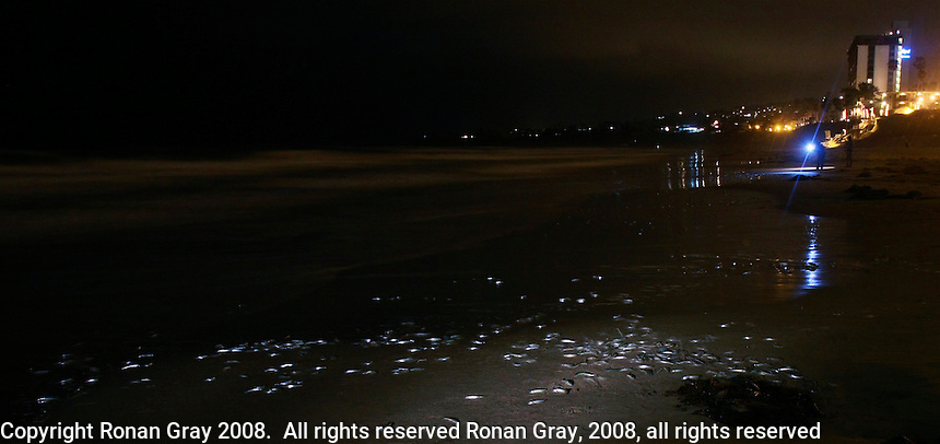 Tuesday April 22, 2008.  Grunion Run on Pacific Beach, CA.