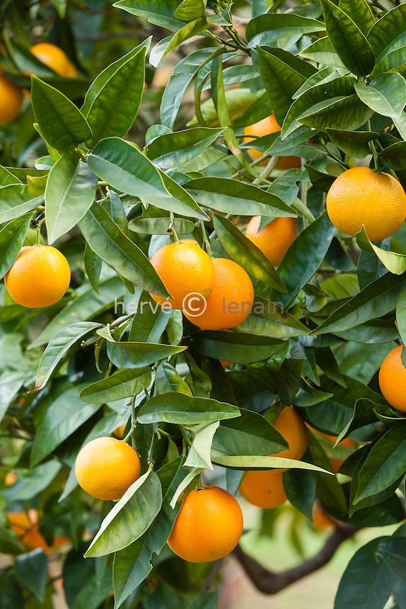 France, Alpes-Maritimes (06), Menton, la collection d'agrumes du palais Carnoles : oranger 'Valencia', Oranger Valencia Late (Citrus sinensis 'Valentia Late')