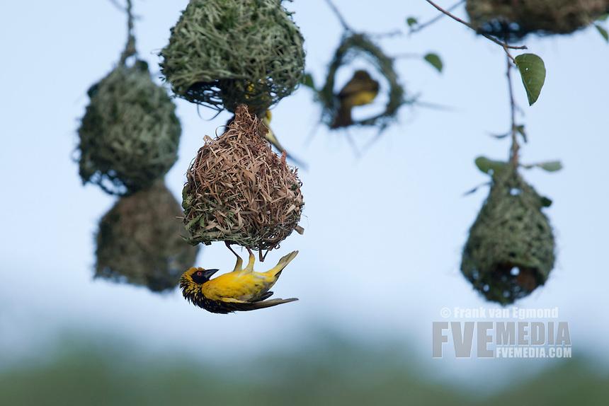 Village Weaver (Ploceus Cucullatus)...Hluhluwe Imfolozi Game Reserve..Kwazulu-Natal, South Africa..November 2010.