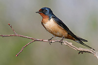 Barn Swallow - Hirundo rustica - Adult male