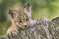 Canada Lynx kitten peering out from behind a log - CA