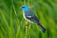 Male Lazuli Bunting (Passerina amoena) perched on grass stalk.  Western U.S., summer.