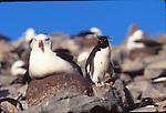 Black-browed albatross and rockhopper penguin
