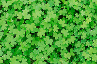 Yellow Wood-Sorrel (Oxalis dillenii), fresh leaves in spring, Dinero, Lake Corpus Christi, South Texas, USA