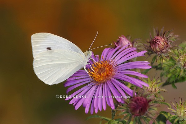 A Small Butterfly, The Cabbage White On An Alpine Aster Flower, Pieris rapae