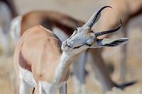 Springbok in Etosha