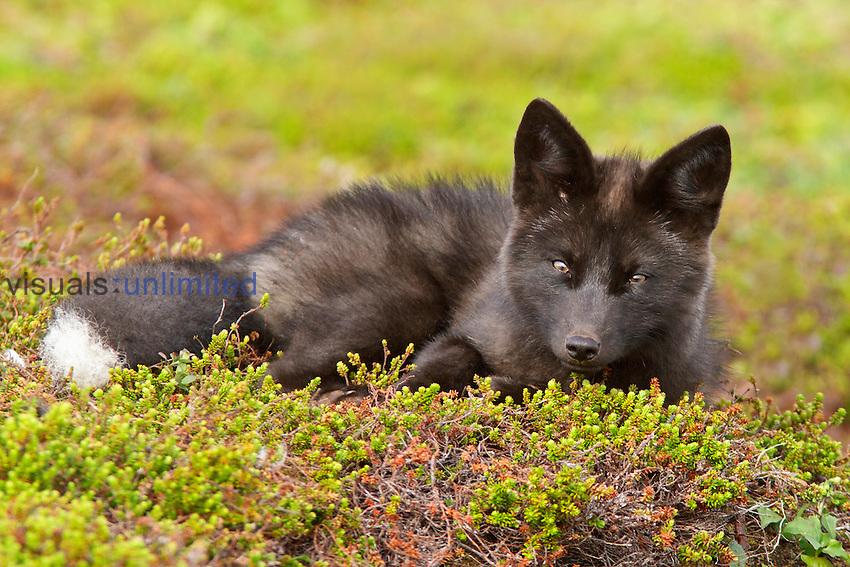 Young Arctic Fox, Newfoundland Canada