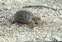 A small Desert Tortoise feeds on the desert floor in southern Arizona.