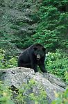 Black bear (Ursus americanus), Canada, in woodland,