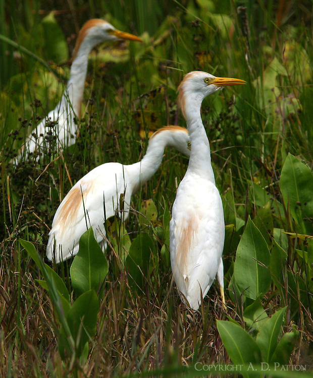 Group of adult cattle egrets in breeding plumage