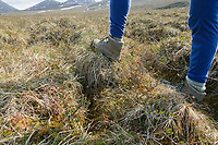 Hiker stands on tussocks, Brooks Range mountains, Arctic National Wildlife Refuge, Alaska