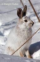 MA19-575z  Snowshoe Hare, winter coat, Lepus americanus