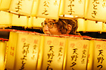 A visitor enjoys the display of lanterns during the annual ''Mitama Festival'' at Yasukuni Shrine on July, 13, 2017, Tokyo, Japan. Over 30,000 lanterns are displayed along the entrance of the shrine to help spirits find their way during the annual celebration for the spirits of ancestors. The festival runs until July 16th. (Photo by Rodrigo Reyes Marin/AFLO)