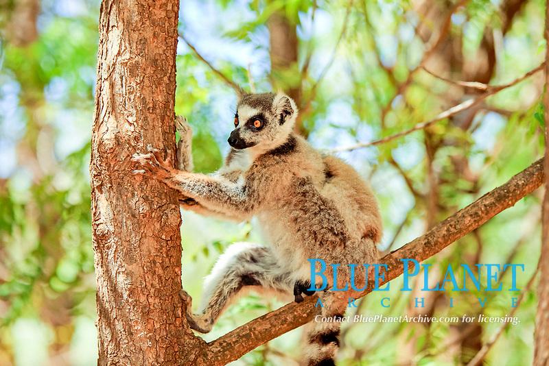Ring-tailed Lemur (Lemur catta), adult in a tree, Berenty Reserve, Madagascar, Africa