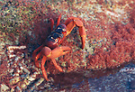 Baby crabs comes to land after one month in the ocean. Adult crabs feeds on  babies.Gecarcoidea natalis