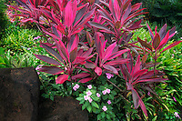 Red Ti plant (Cordyline Fruticosa) at Na Aina Kai Botanical Gardens, Kauai, Hawaii