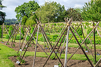 France, Indre-et-Loire (37), Montlouis-sur-Loire, jardins du château de la Bourdaisière, dans le potager, les tomates et leur tuteurage en pyramide en juin