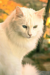 Fluffy white cat with a blue eye and a green eye. Heterochromia;different color irises.