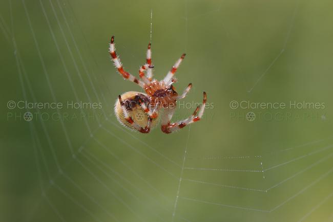 Shamrock Orbweaver (Araneus trifolium) spinning its web,  Ward Pound Ridge Reservation, Cross River, Westchester County, New York
