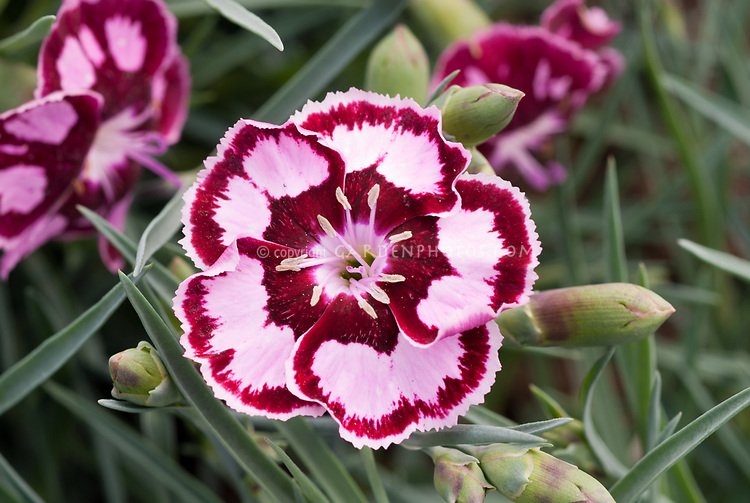 Dianthus 'Mystic Star', single flowere., picotee edged, pink and dark red, aka WP 05 Saphire'